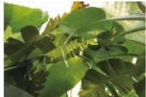 植物 芭蕉/芭蕉芭蕉叶子很大,长椭圆形,果实有点像香蕉。