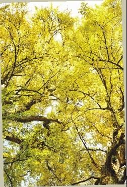 院外三棵银杏壮实茂盛,遮天蔽日.-洁净而炫目的金色,在2.5亿年前