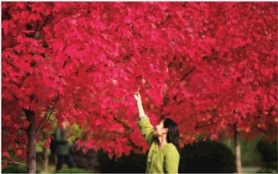 12月3日,湖南农业大学校园里,两排枫树的