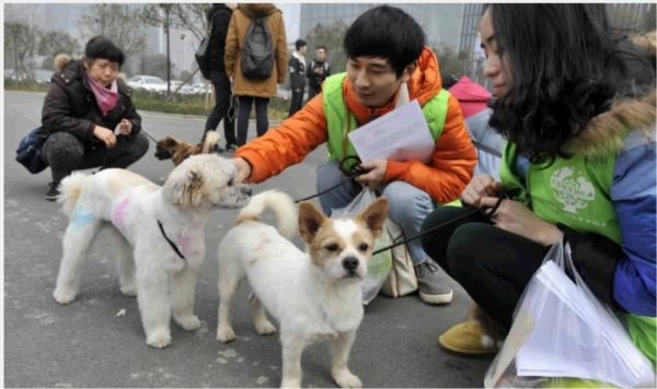 1月4日下午,长沙市湘江中路,志愿者将5只狗狗打扮得漂漂亮亮,准备出发与想认养它们的爱心市民见面。当天,长沙市小动物保护协会与爱心企业联合举办全城领养活动,为基地的流浪狗找到真正疼爱它们的主人。该协会是长沙市唯一一家通过政府批准成立的民间流浪动物保护社团组织,目前收养的流浪狗和猫有110多只,而2015年被爱心市民成功收养的仅10%。 记者 田超 摄