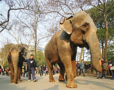 """长沙动物园迎来了大象""""果攀"""""""